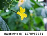 cucumber plant flower in a... | Shutterstock . vector #1278959851