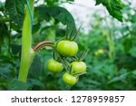 unripe tomatos on a plant in... | Shutterstock . vector #1278959857