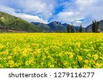 Landscape View Of Rapeseed Flowers Bloooming With Taoshan (Mountain) In the Back at Wuling Camping Ground, Taichung, Taiwan
