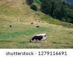 herd of cattle grazing on a... | Shutterstock . vector #1279116691
