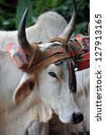 costa rican ox towing a...