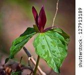 Small photo of Red Trillium (Trillium sessile)