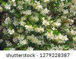 syringa  philadelphus   is... | Shutterstock . vector #1279228387