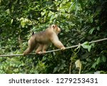 male pig tailed macaque  pig... | Shutterstock . vector #1279253431