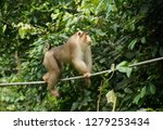 male pig tailed macaque  pig... | Shutterstock . vector #1279253434