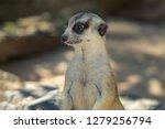 portrait of meerkat suricata... | Shutterstock . vector #1279256794