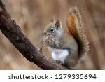 red squirrel with nesting... | Shutterstock . vector #1279335694