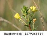 Yellow Flowers Of Oenothera...
