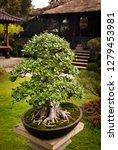 bonsai tree in a garden in bali ... | Shutterstock . vector #1279453981