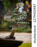 bonsai tree in a garden in bali ... | Shutterstock . vector #1279453987