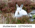Stock photo white mountain hare lepus timidus these hares are native to the british isles this one was in 1279545451