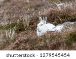 Stock photo white mountain hare lepus timidus these hares are native to the british isles this one was in 1279545454