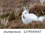 Stock photo white mountain hare lepus timidus these hares are native to the british isles this one was in 1279545457