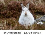 Stock photo white mountain hare lepus timidus these hares are native to the british isles this one was in 1279545484