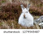 Stock photo white mountain hare lepus timidus these hares are native to the british isles this one was in 1279545487