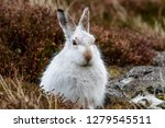 Stock photo white mountain hare lepus timidus these hares are native to the british isles this one was in 1279545511