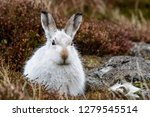Stock photo white mountain hare lepus timidus these hares are native to the british isles this one was in 1279545514
