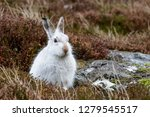Stock photo white mountain hare lepus timidus these hares are native to the british isles this one was in 1279545517
