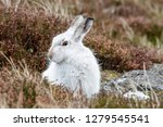 Stock photo white mountain hare lepus timidus these hares are native to the british isles this one was in 1279545541