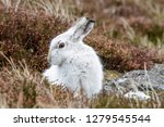 Stock photo white mountain hare lepus timidus these hares are native to the british isles this one was in 1279545544