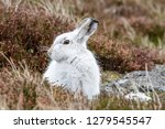 Stock photo white mountain hare lepus timidus these hares are native to the british isles this one was in 1279545547