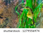Stock photo big belly sea horse in macro closeup yellow color with black spots tropical fish from the 1279556974