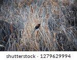 red winged blackbird  agelaius...   Shutterstock . vector #1279629994
