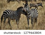 a common scene of two zebras... | Shutterstock . vector #1279663804