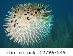 blowfish or diodon holocanthus... | Shutterstock . vector #127967549