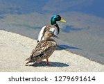 wild duck  anas plathyrhynchos  ... | Shutterstock . vector #1279691614