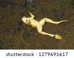 dead frog in water of the pond | Shutterstock . vector #1279691617