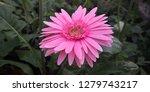 beautiful single blooming... | Shutterstock . vector #1279743217