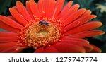 detail of an orange red spider... | Shutterstock . vector #1279747774