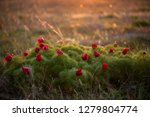 wild peony is thin leaved ...   Shutterstock . vector #1279804774