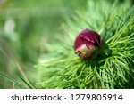 wild peony is thin leaved ...   Shutterstock . vector #1279805914