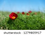 wild peony is thin leaved ...   Shutterstock . vector #1279805917