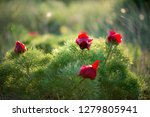wild peony is thin leaved ...   Shutterstock . vector #1279805941