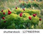 wild peony is thin leaved ...   Shutterstock . vector #1279805944