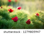 wild peony is thin leaved ...   Shutterstock . vector #1279805947