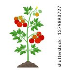 tomato plant with ripe tomatoes ... | Shutterstock .eps vector #1279893727