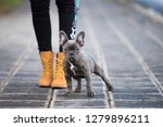 Stock photo french bulldog puppy on a sidewalk 1279896211