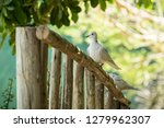 Ring Necked Dove Landing And...