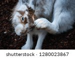 portrait of a brown and white... | Shutterstock . vector #1280023867
