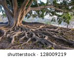 Big Tree Root