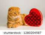scottish fold red cat with red... | Shutterstock . vector #1280204587
