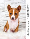 funny red basenji puppy dog is... | Shutterstock . vector #1280207281