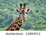 giraffe | Shutterstock . vector #12804511