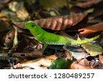 hump snout lizard or lyre head...   Shutterstock . vector #1280489257