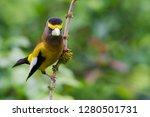 evening grosbeak  male  | Shutterstock . vector #1280501731