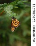 A Monarch Butterfly Clings To...